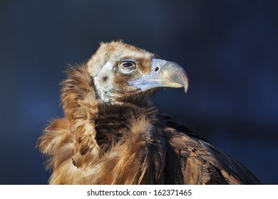 Cinereous Vulture (Aegypius monachus) is also known as the Black Vulture, Monk Vulture, or Eurasian Black Vulture. The largest true bird of prey in the world.