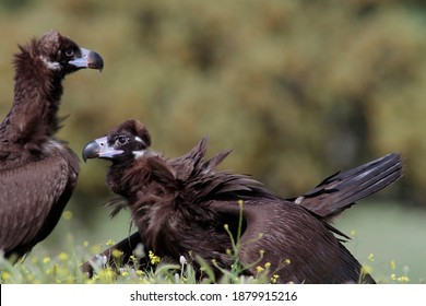 The cinereous vulture (Aegypius monachus) is a large raptorial bird that is distributed through much of temperate Eurasia. It is also known as the black vulture, monk vulture or Eurasian black vulture