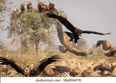 Cinereous vulture or black or monk vulture closeup flying with wingspan at Jorbeer Conservation Reserve bikaner rajasthan india - Aegypius monachus
