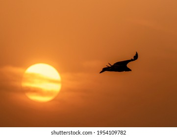 The cinereous vulture is a large raptorial bird that is distributed through much of temperate Eurasia. It is also known as the black vulture, monk vulture, or Eurasian black vulture.