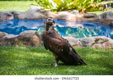 The cinereous vulture is a large raptorial bird that is distributed through much of Eurasia. It is thus one of the world's heaviest flying birds. Distinctly dark, with the whole body being brown