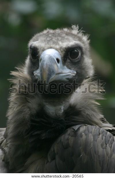 Cinereous Vulture Portrait