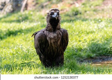 Cinereous vulture sitting on the green grass. Eurasian black vulture or monk vulture (Aegypius monachus) is a huge bird of prey with dark brown plumage, purplish cere and massive blue-gray beak.