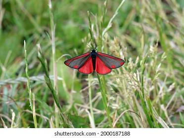 Cinnabar moth in the sun
