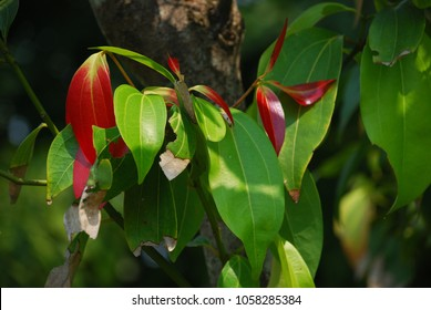 Cinnamomum verum The perennial is small, deciduous, bark, trunk is gray and thick. Branches parallel to the ground and set up. The leaves are oval. Pointed red, green, bouquet of flowers.