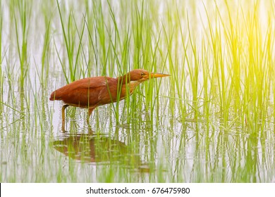 Cinnamon Bittern bird in rice field with sun light fair