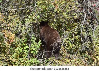Cinnamon black bear eating berries