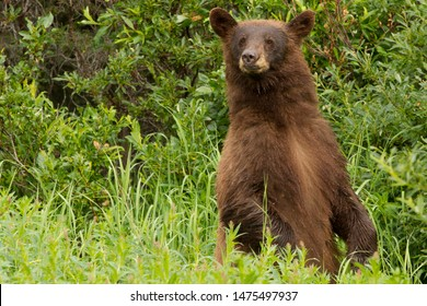 Cinnamon black Bear standing in Kluane  National Park ,Yukon
