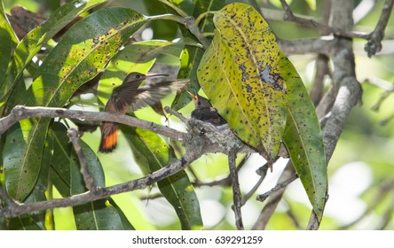 A cinnamon breasted hummingbird feeding its young which are still in the nest.