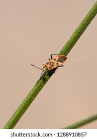 A Cinnamon Bug (Corizus hyoscyami) otherwise called a black and red squash bug resting on a stem with a plain background.