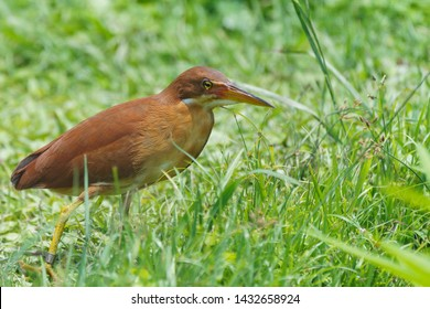 Cinnamon, Chestnut bittern (Ixobrychus cinnamomeus). Wader, Water bird. Walking on grass wetland. Hong Kong