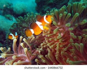 Cinnamon Clownfish Swiming in the Sea  Flower, Similan Island, Thailand