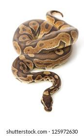 cinnamon enchi ball python (Python regius) isolated on white background.