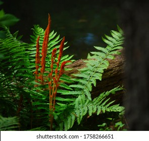 Cinnamon Fern in the Forest