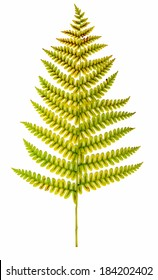 Cinnamon Fern frond (Osmunda cinnamomea) exhibiting fall colors.