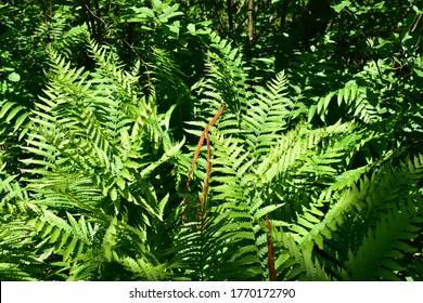 cinnamon fern, Newfoundland and Labrador Canada