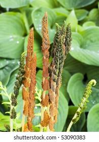 Cinnamon Fern, Osmunda cinnamomea or Osmundastrum cinnamomeum with hosta behind