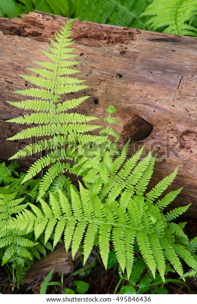 Cinnamon Ferns and Log with fresh rain drops