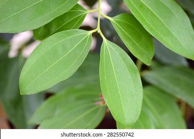 Cinnamon leaf food ingredient and herb (Cinnamomum iners Reinw.)
