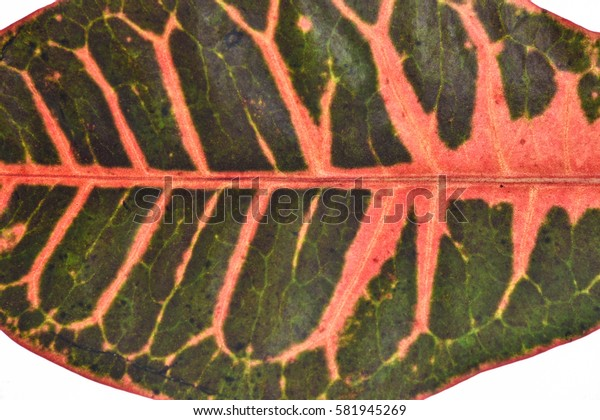 cinnamon leaves isolated on white background