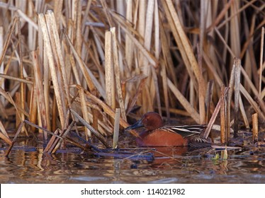 Cinnamon Teal drake in wetland habitat surrounded by cattails; northern California, Klamath Basin National Wildlife Refuge duck hunting