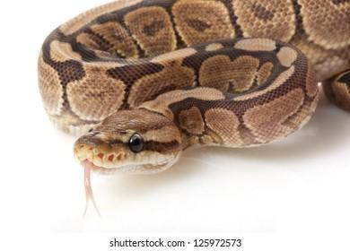 cinnamon woma ball python (Python regius) isolated on white background.
