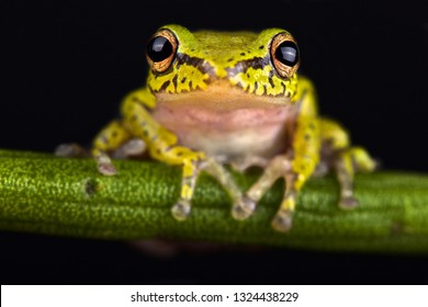 Cinnamon-bellied reed frog (Hyperolius cinnamomeoventris)