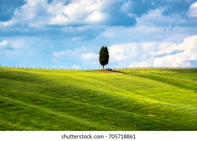 Cipress tree among grass hills in Tuscany, rural landscape. Countryside farm, cypresses trees, green field,Italy, Europe.