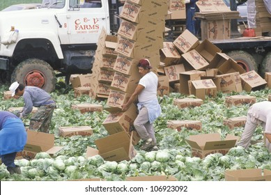 CIRCA 1989 - Migrant farm workers harvest and box lettuce in San Joaquin Valley, CA