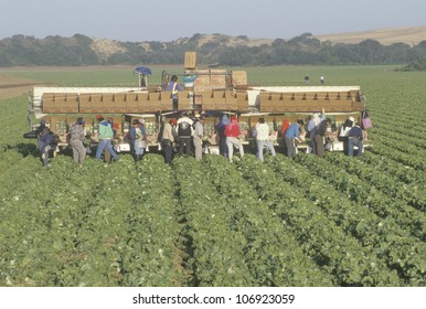 CIRCA 1993 - Migrant workers harvest crops in Central Valley, CA