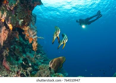 CIRCA 2010 batfish and scuba divers at Tukang Besi Marine Preserve, pristine reefs near Wakatobi Diver Resort, South Sulaweso, Indonesia, S.E. Asia