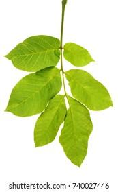 Circassian walnut leaf isolated on white background