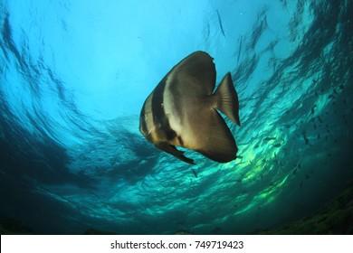 Circular Spadefish. Batfish underwater fish
