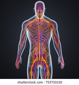 Circulatory system with nerves and lymph nodes 3d illustration