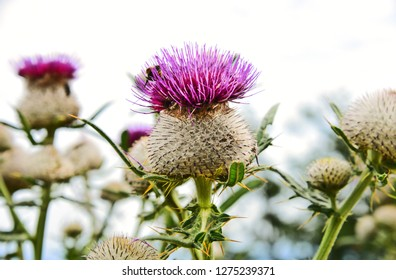 Cirsium vulgare, the spear thistle, bull thistle, or common thistle on white background