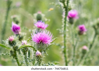Cirsium vulgare, Spear thistle, Bull thistle, Common thistle, short lived thistle plant with spine tipped winged stems and leaves, pink purple flower heads, surrounded by spiny br.