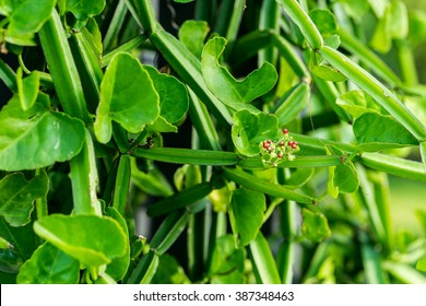 Cissus quadrangularis L. (The plant is a herb used for the treatment of hemorrhoids.)
