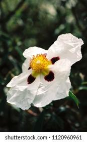 Cistus, or rock rose, cultivar shot on film