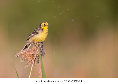 The Citrine Wagtail