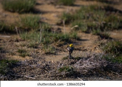 Citrine Wagtail (motacilla citreola) on the Ground. Wildlife Photo. Elegant Citrine Wagtail posing with beautiful tail and feathers. Yellow-Headed Bird. Tiny Beautiful Bird on the grass.