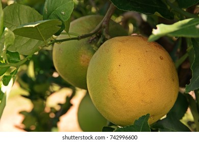 citron fruit, large fragrant citrus fruit with a thick rind