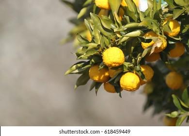 Citron tree