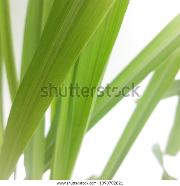 Citronella Cymbopogon Winterianus Stock Photo Edit Now 1098702821