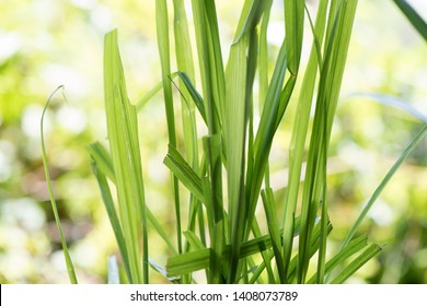 Citronella grass or Cymbopogon nardus ,green leaves on natural background