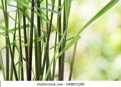 Citronella grass or Cymbopogon nardus on natural background.
