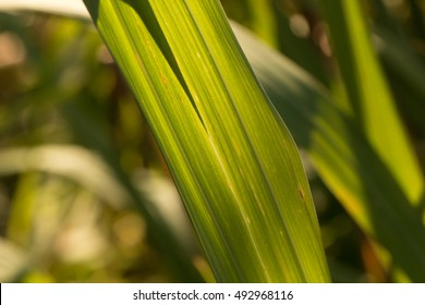 Citronella grass' leaf with sunlight(Cymbopogon nardus)
