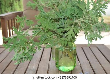 Citronella Plant in Green Mason Jar