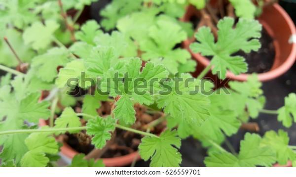 Citronella Plant Mosquito Plant Geranium Citrosa Stock Photo Edit