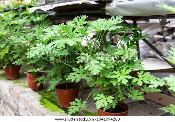 Citronella Plant Natural Mosquito Repellent Scented Stock Photo