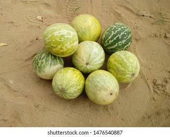 Citrullus colocynthis, with many common names including colocynth, bitter apple, bitter cucumber, desert gourd, egusi, vine of Sodom, or wild gourd, is a desert viny plant.